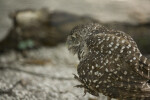 Burrowing Owl Walking