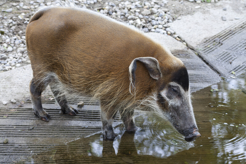 Bush Pig Approaching Water