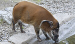 Bush Pig Drinking Water