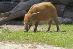 Bush Pig Walking with Head Lowered