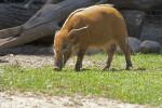 Bush Pig Walking with Head Lowered