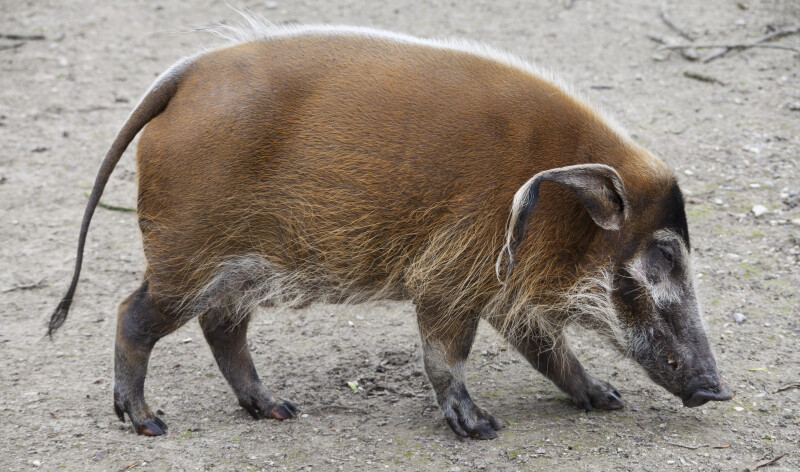 Bush Pig Walking