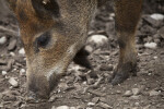 Bushpig Close-Up