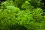 Bushy Aquatic Plant