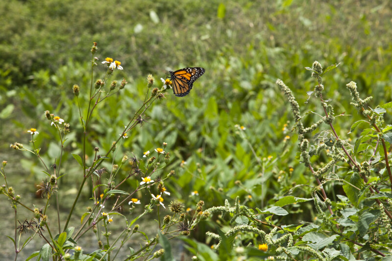 Butterfly at Stormwater Treatment Pond