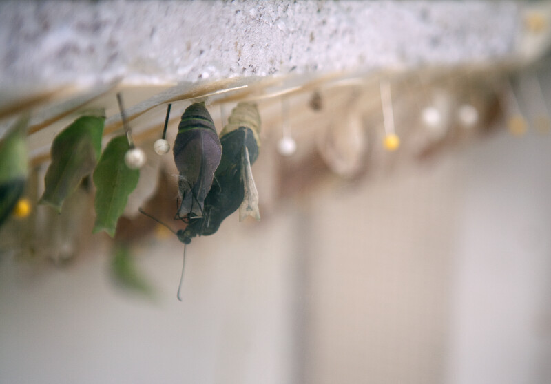 Butterfly Emerging from a Cocoon