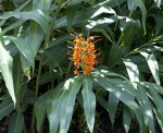 Butterfly Ginger Plant with a Flowering Stalk