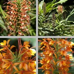 Butterfly Ginger Plants photographs
