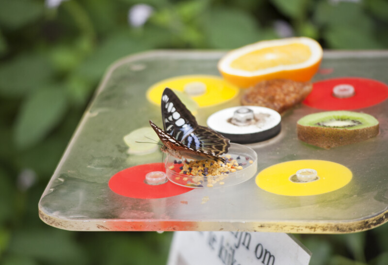 Butterfly in Petri Dish at the Artis Royal Zoo