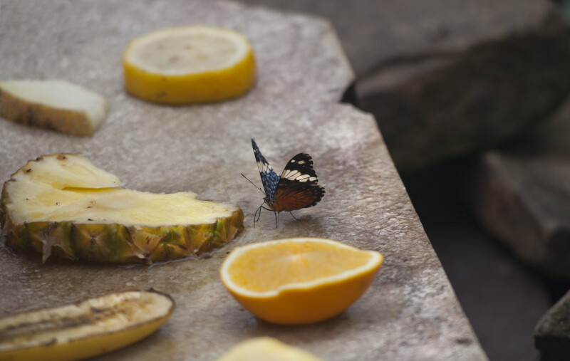 Butterfly near Sliced Fruit at the Artis Royal Zoo