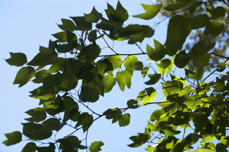 Butterfly Orchid Tree Branches