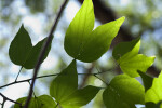 Butterfly Orchid Tree Leaves