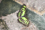 Butterfly with Black and Green Coloring at the Artis Royal Zoo