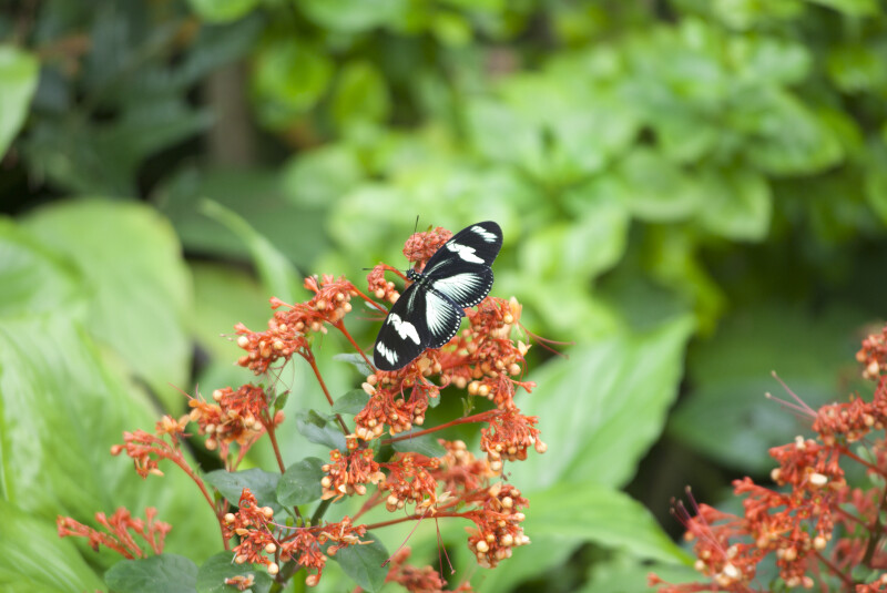 Butterfly with Black and White Coloring Resting on Plant at the Artis Royal Zoo