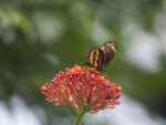 Butterfly with Orange and Black Coloring Resting on Red Flower Buds