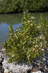 Buttonwood Mangrove at Biscayne National Park
