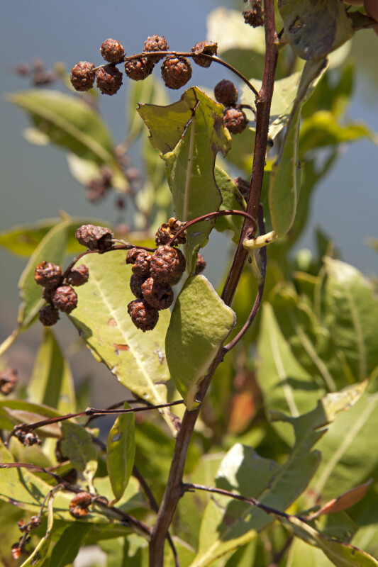 Buttonwood Mangrove Fruits and Leaves