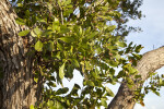 Buttonwood Mangrove Leaves and Small, Brown Fruit