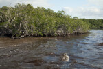 Buttonwood Mangroves
