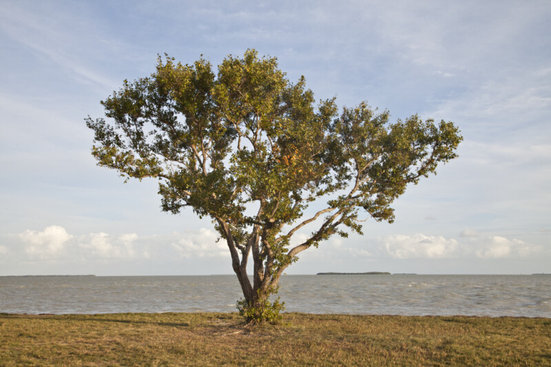 Buttonwood Tree at the Florida Campgrounds of Everglades National Park