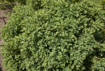 Buxus 'Green Gem' Shrub