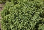 Buxus 'Green Gem' Shrub