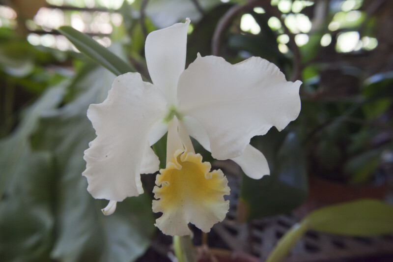 C. Eleanor Betts Orchid