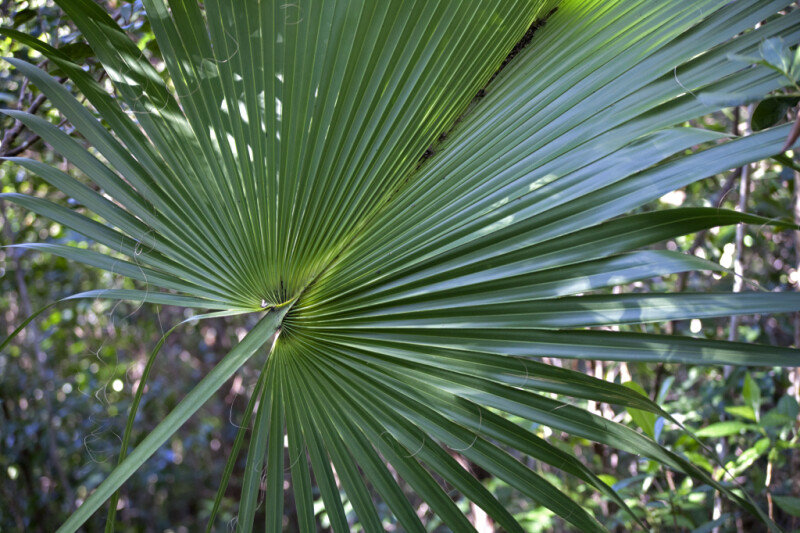 Cabbage Palm Frond