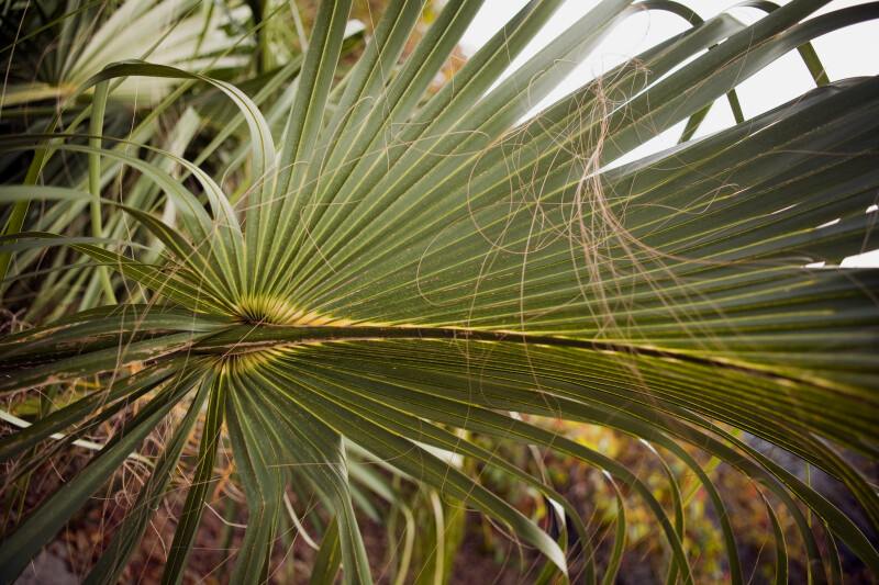 Cabbage Palm Leaves
