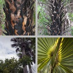 Cabbage Palms photographs