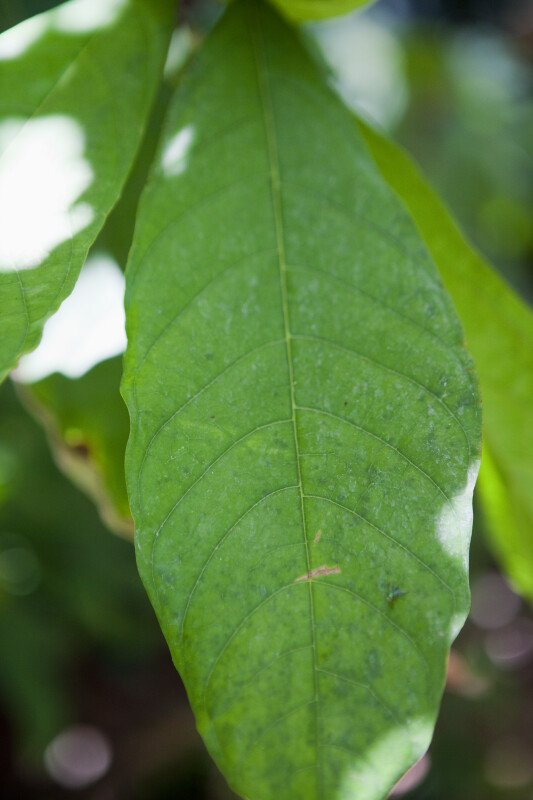 Cacao Tree Leaf