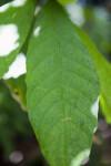 Cacao Tree Leaf