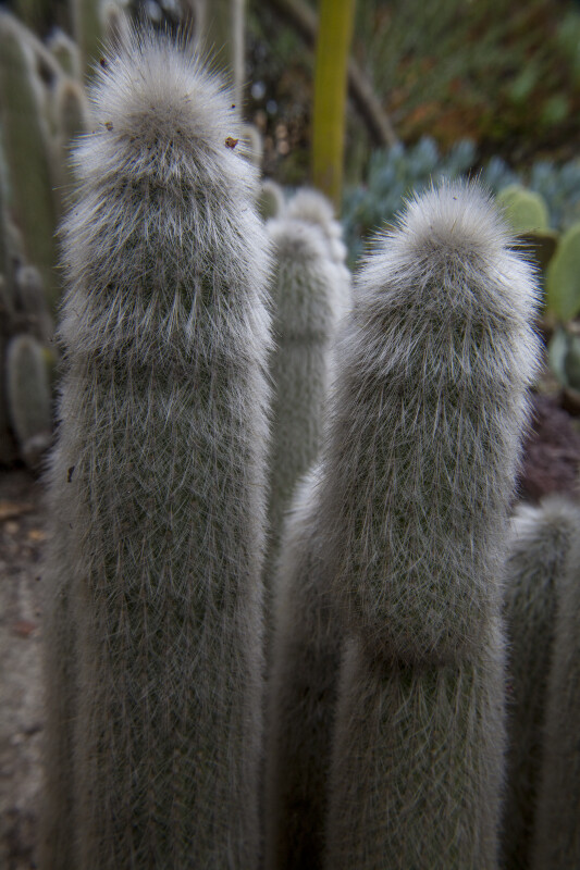 Cacti with Long, White Hairs