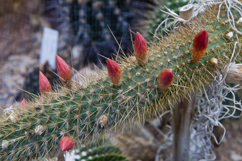 Cactus with Blooming Flowers