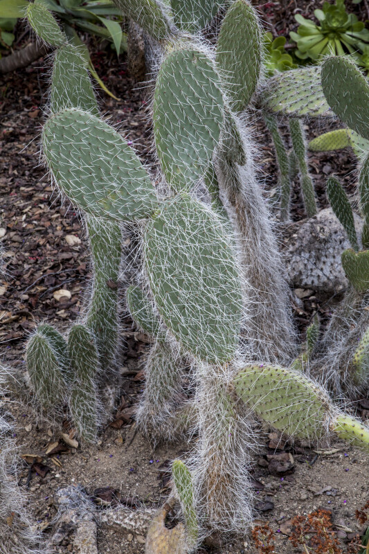Cactus with Numerous, Long, White Thorns on its Paddles