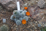 Cactus with Orange Flowers