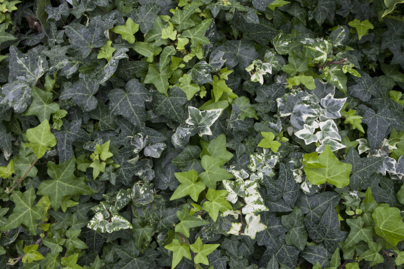 Caecili English Ivy
