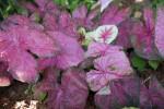 Caladium bicolor Leaves