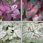 Caladium bicolor photographs