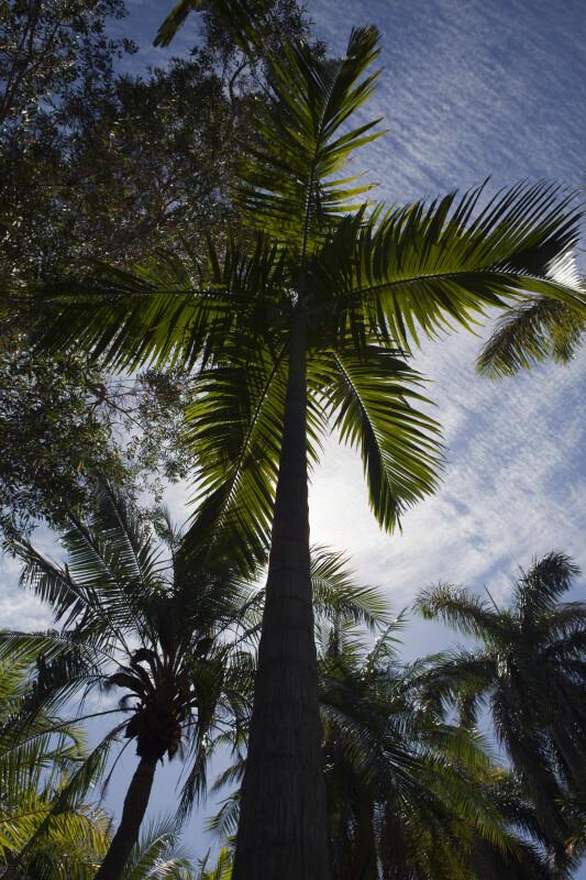 Calappa Palm (Actinorhytis calapparia)