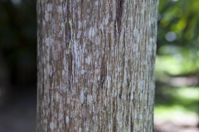 Calappa Palm Bark