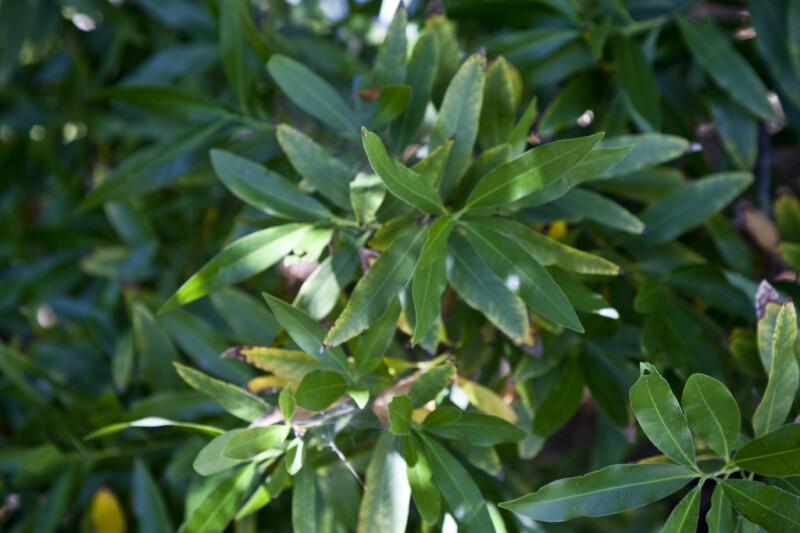California Bay Laurel Tree Leaves