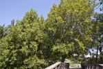 California Bay Trees near Boardwalk at the UC Davis Arboretum