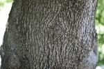California Box Elder Bark