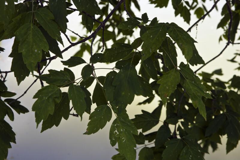 California Box Elder Leaves