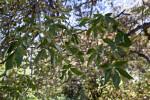 California Buckeye Tree Leaves