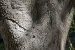 California Coast Live Oak Bark at the Sacramento Zoo