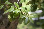 California Coast Live Oak Leaves at the Sacramento Zoo