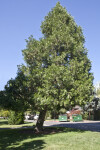 California Incense Cedar Tree at Capitol Park in Sacramento