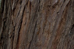 California Redwood Bark Detail